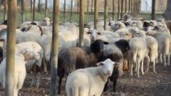 Stacja terenowa Centrum: krzyżówka muflona kaukaskiego i owcy domowej