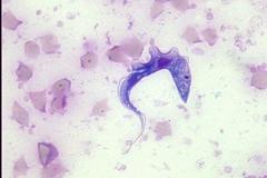 Trypanosoma cervi